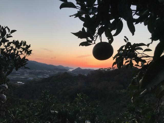 清見オレンジと夕焼け