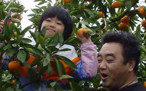 お父さんと一緒にみかんの収穫♪