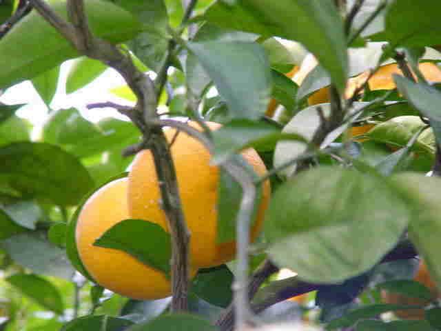 紅八朔(べにはっさく)・紅さつきオレンジ